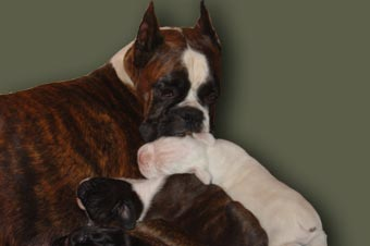 Tanyati Boxers - South Africa - Breeders of top quality KUSA